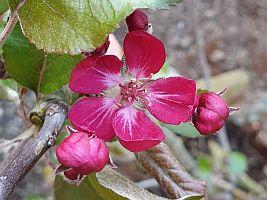 Apfelblüte Bioaktiv- Apfel Vitalstar(S)
